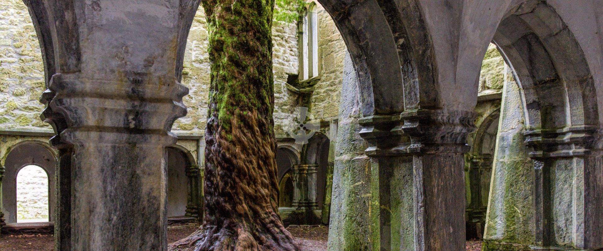 mucross abbey yew tree