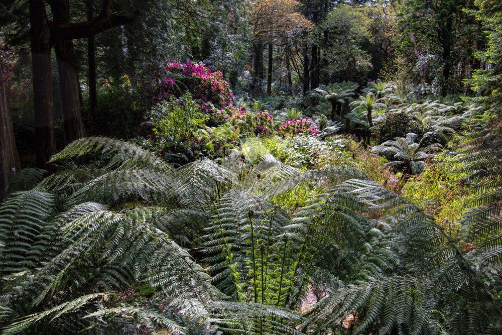 A dell of tree ferns at Derreen garden, lauragh, Ireland