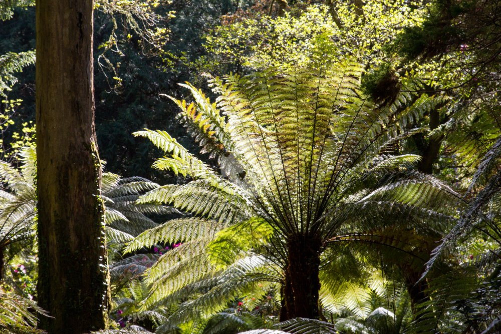 Tree fern illustrating the rich lushness of sub-tropical plants at derreen garden, Lauragh, Ireland