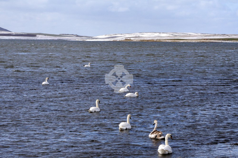Image of Swans, Loch of Stenness, Orkney